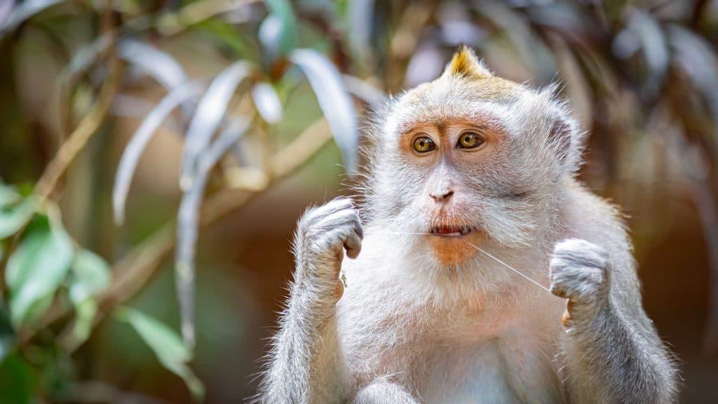 Canggu monkey